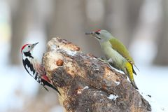 Close up and detailed photo a middle spotted and grey headed woodpecker both Stock Photography