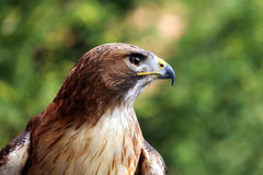Close up detailed photograph of a red-tailed hawk Royalty Free Stock Photo