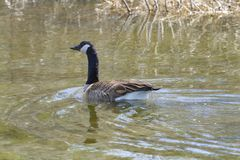 Canadian Goose Swimming with a Look Back. A close up, detailed picture of a Canadian goose swimming downriver shows the goose nodding back with approval Royalty Free Stock Image