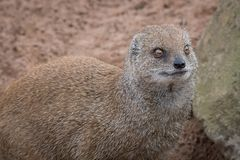 Close up detailed portrait of an alert mongoose. A close up portrait of a mongoose looking alert and slightly to the right with sand in the background and Royalty Free Stock Images