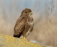 Close up detailed portrait of common buzzard. On the stone Royalty Free Stock Photo