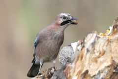 Close-up and detailed portrait of a Eurasian jay with a corn in beak. Close-up and detailed portrait of a Eurasian jay sitting on a log  on a smooth blurred Royalty Free Stock Image