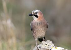 Close-up and detailed portrait of a Eurasian jay sitting on a stone. On a smooth blurred green background Royalty Free Stock Photo