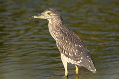 Close up detailed portrait of young night heron stand on the water. Unusual perspective photo Stock Images