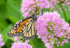 Monarch Butterfly On Allium Flowers. Close up detailed profile view of Monarch butterfly on Allium flowers stock photography