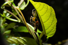 Close up detailed of spider killing prey. Royalty Free Stock Photography