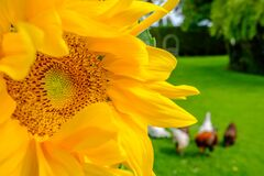 Free Close-up, Detailed View Of A Wild Sunflower Plant Head, Seen In A Garden Setting. Also In Out Of Focus View Is A Small Fence Toget Royalty Free Stock Photos - 187493918