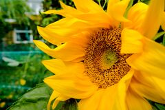 Free Close-up, Detailed View Of A Wild Sunflower Plant Head, Seen In A Garden Setting. Also In Out Of Focus View Is A Small Fence Toget Royalty Free Stock Images - 187493959