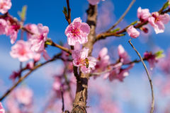 Close-up details of bee and blossoming peach trees treated with fungicid. The arrival of spring in the blossoming of peach blossoms on trees planted in rows Royalty Free Stock Photos