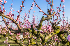 Close-up details of blossoming peach trees treated with fungicid Royalty Free Stock Photo