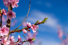 Close-up details of blossoming peach trees treated with fungicid Royalty Free Stock Image