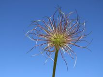 Pasque flower seed head against a blue sky background royalty free stock images