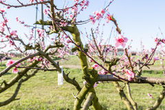 Close-up details of fungicide blister on blossoming peach trees Royalty Free Stock Photo