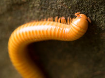 Close up details of Millipede climbing on mossy stone in tropical forest Royalty Free Stock Images