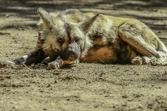 African Painted Dog stock photos