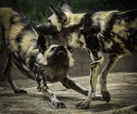African Painted Dogs stock image