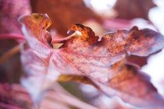 Close-up, detalhe de quinquefolia do Parthenocissus, folha da trepadeira de Victoria Imagens de Stock