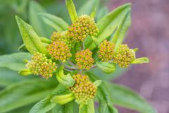 Close up of the developing buds on an orange butterfly bush. A close up of the developing buds on an orange butterfly bush stock image