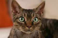 Devon Rex Cat face. Close up of a devon rex cat brown tabby with green eyes Royalty Free Stock Images