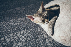 Close-up of Devon Rex cat who is sleeping in felted warm pet bed. Cat likes comfortable cat cave made of wool - simple, minimal handmade design. Sun light. Copy Royalty Free Stock Photo