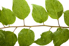 Close up of Dew Covered Bougainvillea Leaves Stock Photos