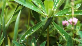 Close-up of a dew drop lying on the green narrow leaves stock video footage