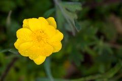 Close up Dewy do botão de ouro de Califórnia Fotografia de Stock