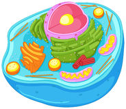 Close up diagram of animal cell vector illustration