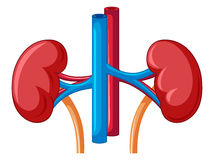Close up diagram of kidney Stock Photography