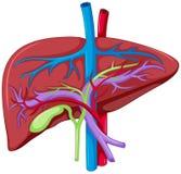 Close up diagram of liver anatomy royalty free illustration