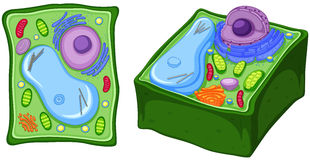 Close up diagram of plant cell. Illustration Stock Images