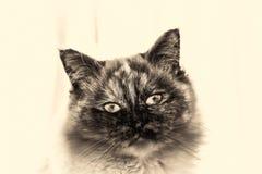 Close up dianteiro da câmera de vista principal do gato de Birman Imagem de Stock Royalty Free