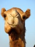 Close-Up dianteiro da cabeça do camelo árabe da face Fotos de Stock Royalty Free