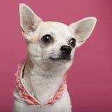 Close-up die van Chihuahua roze geregen overhemd draagt Royalty-vrije Stock Foto