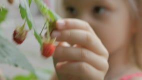 Close-up die van de hand van het kind, een rijpe rode frambozenbes van Bush plukken stock videobeelden