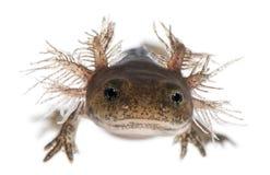 Close-up die van de larve van de Brandsalamander de externe kieuwen, Salamandra-salamandra tonen stock foto's