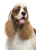 Close-up die van een Amerikaanse Cocker-spaniël, geïsoleerd, weg eruit zien Stock Foto
