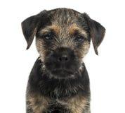 Close-up die van een puppy van Grensterrier, de camera bekijken stock afbeelding