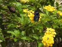 Close-up die van een zwarte honingbij die stuifmeel en nectar van een gele bloem verzamelen, bestuiving maken stock afbeelding