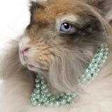 Close-up die van Engels Angora konijn parels draagt Stock Fotografie