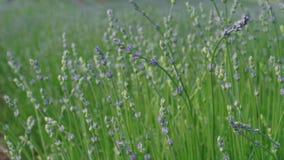 Close-up die van het kweken van lavendel, vroeg bij de zomerdag bloeien stock footage