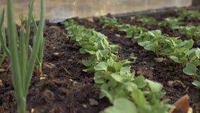 Close-up die van jonge organische radijzen en uien in een serre in de tuin groeien 4K stock footage