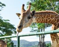 Close-up die van mooie Giraf Tong tonen stock afbeeldingen