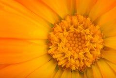 Close-up die van oranje calendulabloem is ontsproten Royalty-vrije Stock Fotografie