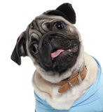 Close-up die van Pug puppy blauw draagt Stock Fotografie