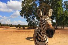 Close-up die van zebra is ontsproten. stock afbeeldingen