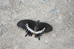 Died black butterfly on the ground. Close up Died black butterfly on the ground stock images