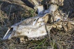 Close-up dierlijke schedel Royalty-vrije Stock Fotografie