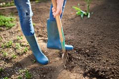 Work in a garden - Digging Spring Soil With Spading fork. Close up of digging spring soil with blue shovel preparing it for new sowing season royalty free stock photo