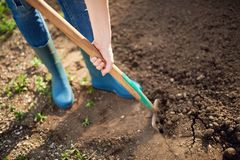 Work in a garden - Digging Spring Soil With Spading fork. Close up of digging spring soil with blue shovel preparing it for new sowing season stock images
